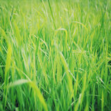 Green grass closeup background - retro filter. Royalty Free Stock Image