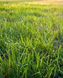 Green grass closeup, background texture. stock photo