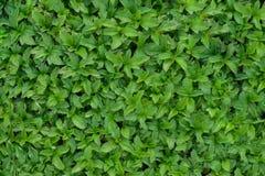 Green grass. Closeup green grass background texture Royalty Free Stock Image