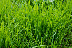 Green grass closeup Royalty Free Stock Images
