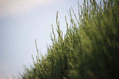 Green grass closeup Royalty Free Stock Photography