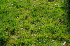Green Grass. Closeup shot on green grass Royalty Free Stock Photography