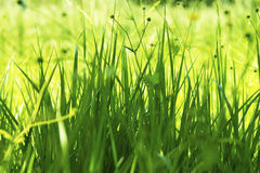 Green grass. Closeup, in the sunshine Royalty Free Stock Image