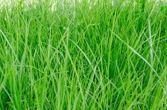 Green grass. Closeup texture background Stock Image