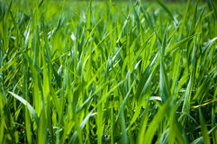 Green grass closeup Royalty Free Stock Image