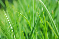 Green grass clouse-up view Royalty Free Stock Image