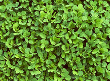 Green grass clover background Royalty Free Stock Photography