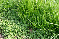 Green grass and clover leaves. Border of the green grass and cloverleaf field stock photography