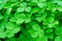 Green grass clover Stock Image