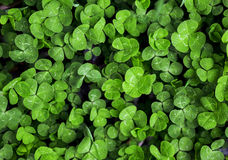 Green grass clover Royalty Free Stock Photography