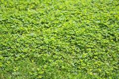 Green grass clover texture Royalty Free Stock Photo