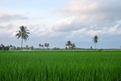 Green grass with coconout tree Stock Image