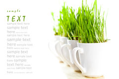 Green grass in coffee cups Royalty Free Stock Photos