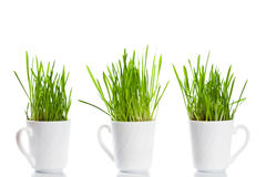 Green grass in coffee cups Stock Photo
