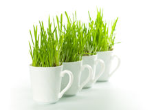 Green grass in coffee cups Royalty Free Stock Photo