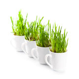 Green grass in coffee cups c Royalty Free Stock Photo