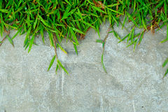 Green grass on concrete wall close up for background and backdrop use Stock Image
