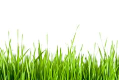 Green grass copy space. Green grass in front of white background Stock Image