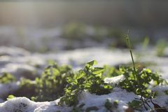 Green grass covered with first snow Royalty Free Stock Image