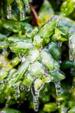 Green grass covered with ice. After icy rain Stock Images