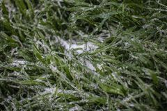 Green grass covered in snow and ice. Tall green grass covered in ice and grass textured background Royalty Free Stock Image