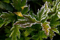 Green grass covered with white hoarfrost Royalty Free Stock Photos