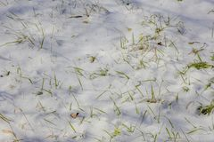Green grass covered with snow in the winter. Green grass covered with white snow in the winter in the park. First green grass from under the snow Stock Photos