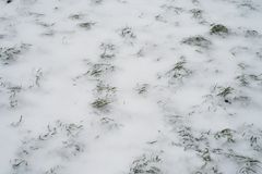 Green grass covered with white snow in winter in the park. A snowstorm broke out. Close-up. Green grass covered with white snow in the winter in the park. A Stock Images