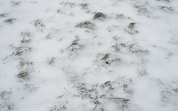 Green grass covered with white snow in winter in the park. A snowstorm broke out. Green grass covered with white snow in the winter in the park. A snowstorm Stock Photo