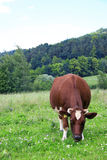 Green grass and cow. Fresh, green grass field, and cow Royalty Free Stock Images