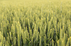 Green grass, crop, wheat against the sky Royalty Free Stock Images