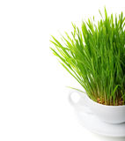 Green grass in cup isolated on white background. Raw food concep Royalty Free Stock Photo