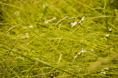 Green grass and daises after the rain. Stock Image