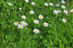 Green grass and daisies Royalty Free Stock Photos