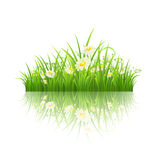 Green grass with daisies. Green grass and daisies with reflection on white, vector illustration Stock Photo