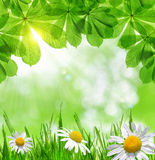 Green grass with daisies Stock Photography