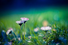 Green grass and daisies in the sun. Fresh field of daisy flowers Royalty Free Stock Photography