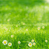 Green grass and daisies in the sunshine Royalty Free Stock Images