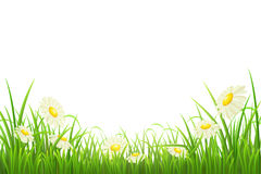 Green grass and daisies. Green grass with daisies on white, vector illustration Royalty Free Stock Image