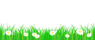 Green grass with daisy. Vector pattern on white background Stock Photos