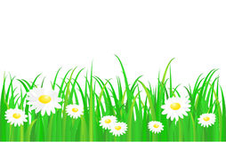 Green grass with daisy Royalty Free Stock Images