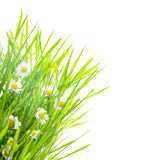 Green grass and daisy Stock Images