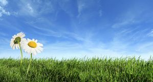 Green grass with daisy flowers Royalty Free Stock Images
