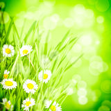 Green grass and daisy Stock Photography