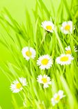 Green grass and daisy Royalty Free Stock Photography