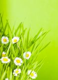 Green grass and daisy Royalty Free Stock Image