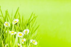 Green grass and daisy Stock Photo