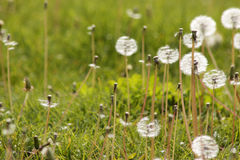 The green grass of the dandelion Stock Image