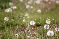 The green grass of the dandelion Stock Photography