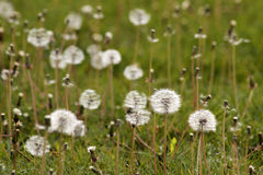 The green grass of the dandelion Stock Images